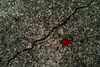 crack (N.sino) Tags: m9 summilux50mm crack maple fallenleaf kaede 楓 紅葉 皹 亀裂 昭和記念公園