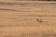 Morning light buck (brian.perkes) Tags: white tailed buck idaho grassland