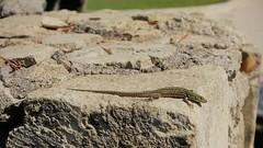 DSC06196 (2) (kriD1973) Tags: europa europe italia italy italien italie puglia salento apulien apulia pouilles acayagolfresortspa acaya resort reptile rettile reptil lizard lucertola eidechse lezard animal animale tier rettili reptiles reptilia