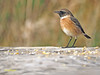 Tarabilla europea (Saxicola rubicola) (4) (eb3alfmiguel) Tags: aves passeriformes insectívoros turdidos turdidae tarabilla europea saxicola rubicola pájaros