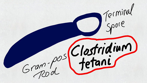 MFF Clostridium tetani