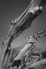 Undulating Wood (Thomas Pohlig) Tags: driftwood trees tree sand beach higbeebeach capemay blackandwhite monochrome mono jersey jerseyshore weatheredwood weathered