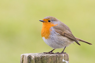 A jolly Robin