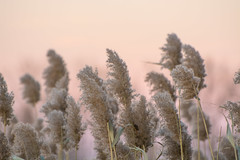 The Wind (hmthelords) Tags: bay wind outdoors grassesatsunset nature grasses