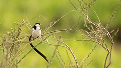 Nairobi-Nationalpark-7260 (ovg2012) Tags: kenia kenya nairobi nairobinationalpark pintaildwhydah dominikanerwitwe
