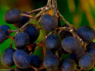Black Berries Close Up.