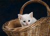 'Orson' (Jonathan Casey) Tags: white kitten basket rescue chums catchums norfolk nikon d810 sigma 50mm f14 art