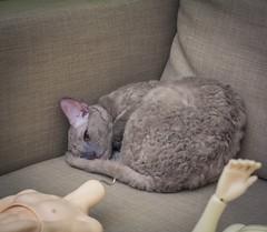 Karolina (toriasoll) Tags: cat cornishrex cornish cornishrexcat cornishcat