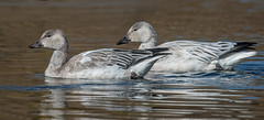 Snow Goose (Anser caerulescens) (fugle) Tags: goose anser waterfowl snowgoose ranchosanrafael nevada reno washoeco
