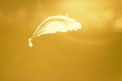 Light of fall (Light & shadow believers) Tags: light autumn fall eveningsun sunlight backlight gold japanesepampasgrass simple
