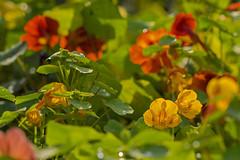 MS Bot Garten 29092017 10 2048 (Dirk Buse) Tags: münster nordrheinwestfalen deutschland deu nrw germany pflanzen blüte gelb rot natur outdoor olympus omd mft m43 nature farbe color colour