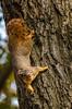 Chatter Fox (Portraying Life, LLC) Tags: dbg6 da3004 hd14tc k1 michigan pentax ricoh unitedstates closecrop handheld nativelighting rain squirrel fussy bark forest