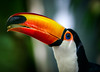 Toucan Tango (Amazing Aperture Photography) Tags: nature wildlife wild toucan tocotoucan nikon nikond800 tamron beak bill bright vibrant colorful forest rainforest amazon southamerica pretty beautiful portrait feathers face eyes