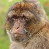 barbarymacaque apenheul BB2A0392 (j.a.kok) Tags: berber barbarymacaque barbarymonkey berberaap apenheul aap monkey mensaap zoogdier dier makaak macaque macacasylvanus