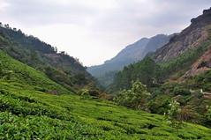 India - Kerala - Munnar - Tea Plantagen - 246 (asienman) Tags: india kerala munnar teaplantagen asienmanphotography