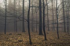 The luminous Carpet (Netsrak) Tags: baum bäume eu europa europe forst januar january landschaft natur nebel wald fog forest landscape mist nature tree trees winter woods rheinbach nordrheinwestfalen deutschland de