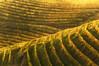 Vigne contre jour (magnustersch) Tags: europe allemagne vigne graves vignes crépuscule sunset orange yellow jaune terschlusen nikon gegenbach graphique abstrait