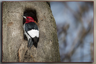 Pic à tête rouge / Red-headed Woodpecker / Melanerpes erythrocephalus