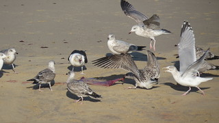 Gulls clearing up the after birth