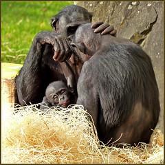 Family (Soeradjoen) Tags: apes apen animals dieren beesten zoo dierentuin nature natuur