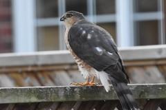 Sharp-shinned Hawk (Linda Ramsey) Tags: nature fall ontario november autumn bird birdofprey hawk sharpshinnedhawk