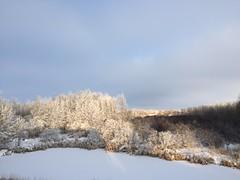 A sunny start to the new day! (+4) (peggyhr) Tags: peggyhr daybreak sunlight snow hoarfrost trees slough poplars willows iphone bluebirdestates alberta canada