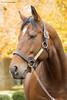 Declaration of War, 2017 (Casey Laughter Media) Tags: stallion horse racehorse thoroughbred stud breeding intact ashford coolmore america declarationofwar warfront grass turf dirt winner breederscup third breederscupclassic