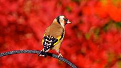Goldfinch (tsbl2000) Tags: goldfinch nikond810 tamron150600mm wildlifecafe