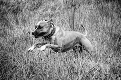 Lucy (d_neeses_pix) Tags: americanpitbullterrier americanstaffordshire dog running pitbull