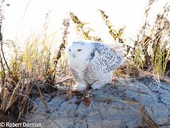 Snowy Owl (tavarez.niurka) Tags: snowy owl buho lechuza gufo chouette coruja arctic hedwig harry potter buma bubo scandiacus jersey shore wildlife