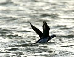 Long-tailed duck (Jaedde & Sis) Tags: havlit clangulahyemalis longtailed duck flight monotone backlit