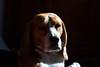 Louis (tomtom1971) Tags: beagle headshot beagleportrait beaglehead