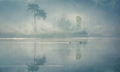 The faery forest glimmered (Ingeborg Ruyken) Tags: dropbox autumn zonsopkomst sunrise dawn oisterwijksevennen fall flickr herfst ochtend trees rayoflight 2017 bomen oktober 500pxs natuurfotografie fog morning october mist