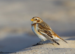 Snow Bunting (1 of 1) (den9112) Tags: