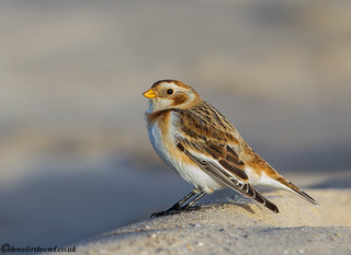 Snow Bunting (1 of 1)