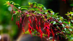Fuchsia - 4156 (YᗩSᗰIᘉᗴ HᗴᘉS +10 000 000 thx❀) Tags: fuchsia flower fleur flora red rouge nature hensyasmine yasminehens