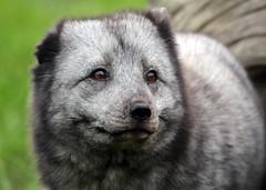 arctic fox blijdorp BB2A1166 (j.a.kok) Tags: vos fox poolvos noordpool northpole arcticfox arctic animal mammal zoogdier dier predator blijdorp vulpes