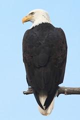 Adult Bald Eagle (jlcummins - Washington State) Tags: baldeagle birds yakimarivercanyon kittitascounty washingtonstate frameit
