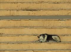 varanasi (gerben more) Tags: ghat stairs dog sleeping india varanasi benares
