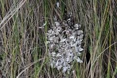 mammal otter scat pea island NWR ncwetlands AM (46) (ncwetlands.org) Tags: northcarolina barrierisland ncwetland ncwetlands migratorybirds wildliferefuge nestinghabitat tidalmarsh overlook