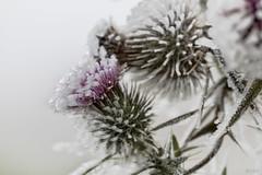Spear Thistle on ice - Speer Distel met rijp (Thijs de Bruin) Tags: distel macro highkey speerdistel ice rijp paars purple groen green wit white spearthistle