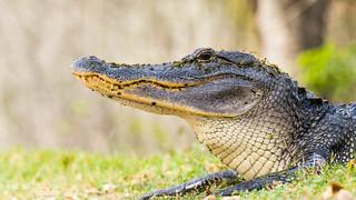 Gator 001