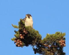 Peregrine falcon resting (Victoria Morrow) Tags: