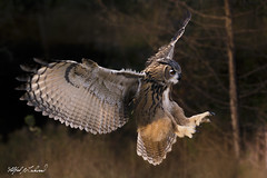 Eagle Owl_T3W2443 (Alfred J. Lockwood Photography) Tags: alfredjlockwood nature bird flight landing canadianraptorconservancy crc autumn morning eagleowl canada ontario
