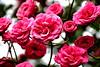 (Roi.C) Tags: flowers flower rose roses nature outdoor season nikkor nikond5300 nikon macro hdr bright red bouquet pink spring garden