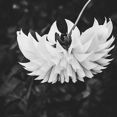 summetry in b+w (Web-Betty) Tags: bnw blackandwhite monochrome flower flora nature
