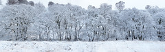 Winter panorama (Andy & Helen :-) :)) Tags: panorama trees snow winter cannockchase sherbrookvalley staffordshire uk andyholt landscape weather cold olympus explored explore