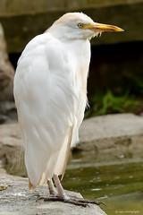 Cattle egret (dpsager) Tags: bird cattleegret columbus columbuszoo dpsagerphotography egret ohio zoo zoosofnorthamerica