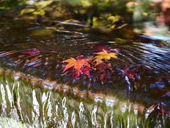 Fallen leaves (yukky89_yamashita) Tags: 大山崎町 京都 アサヒビール大山崎山荘美術館 落ち葉 落葉 autumn leaves water kyoto oyamazaki town japan