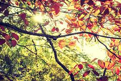 Harmonious (Carrie McGann) Tags: leaves orange yellow green branches x trees fallcolors sun sunburst myowaen katsuosaito 110617 nikon interesting
